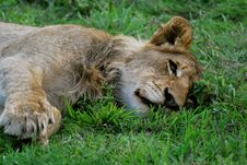 Free Sleepy Young Male Lion In Sabi Sands, South Africa Stock Photo - 29564300