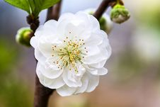 Free One White Peach Blossom Royalty Free Stock Images - 29566829