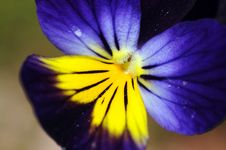 Viola Flower Macro Royalty Free Stock Photo