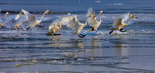 Free Running Swans Royalty Free Stock Photos - 29568528