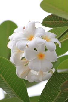Free White Plumeria Flowers Stock Photography - 29568662
