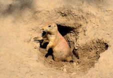 A Young Prairie Dog Royalty Free Stock Images