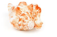 Conch Sea Shell Stock Photography