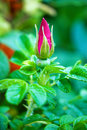 Free Wild Rose Bud Stock Photography - 29572642