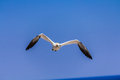 Free Northern Gannet Colony Royalty Free Stock Photography - 29574607