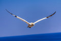 Free Northern Gannet Colony Royalty Free Stock Photography - 29574677