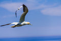 Free Northern Gannet Colony Stock Images - 29574734