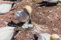 Free Northern Gannet Feeding His Baby Stock Images - 29574924