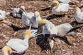 Free Northern Gannet Colony Royalty Free Stock Photo - 29574975