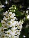 Free Bird-cherry Tree Flowers Stock Photo - 29577670