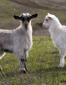 Free Goats Stock Photo - 29572740