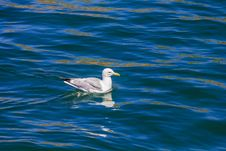 Free Swimming Gull Royalty Free Stock Image - 29574326
