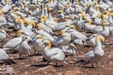 Free Northern Gannet Colony Royalty Free Stock Photo - 29574495