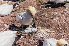 Northern Gannet Feeding His Baby Stock Images