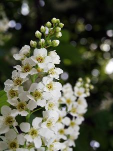 Free Bird-cherry Tree Flowers Stock Photo - 29577670