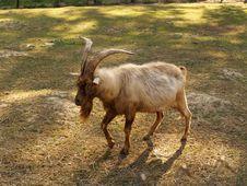 Free Goat Stock Image - 29577981