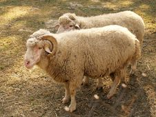 Free Sheeps Royalty Free Stock Images - 29578059