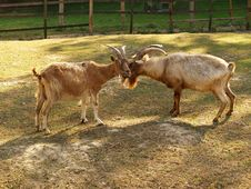 Free Goats Royalty Free Stock Photo - 29578155