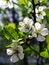 Free Plum Blossom Stock Image - 29577691