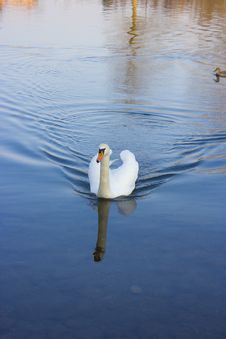 Free Swan Stock Photos - 29581643