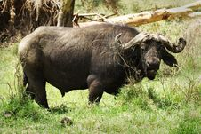 Free African Buffalo Royalty Free Stock Photography - 29584217