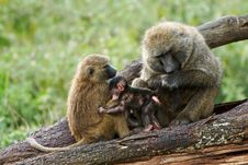 Free Two Olive Baboons With A Young One Stock Image - 29584401