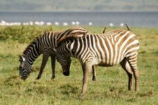 Free Two Zebras With Oxpeckers Royalty Free Stock Photo - 29584535