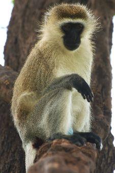 Free Vervet Monkey On A Tree Branch Stock Photography - 29584552