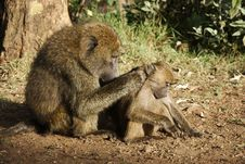 Free Olive Baboon Caring For A Young One Royalty Free Stock Photography - 29584647