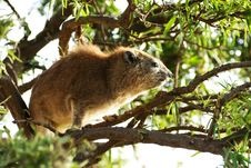 Free Rock Hyrax Up In A Tree Royalty Free Stock Images - 29584709