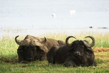 Free Two African Buffalos Lying In Grass Royalty Free Stock Photos - 29584818