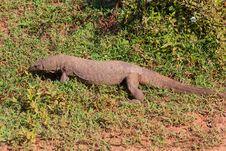 Varanus Komodoensis Royalty Free Stock Photos