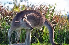 Free Australian Kangaroo Wild & Free In Bush Grass Royalty Free Stock Image - 29586396