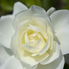 Free White Rose Close-up Royalty Free Stock Photos - 29589948