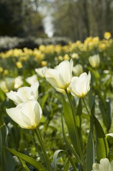 Free White Tulips Stock Photography - 29590072