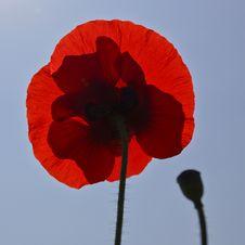 Free Poppy With Shadow Stock Photo - 29590520