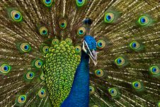 Free Peacock Stock Photos - 29599203