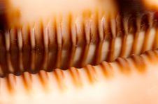 Free Cypraea Argus Teeth Stock Photo - 2960380