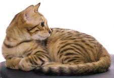 Free Bengal Cat Portrait Stock Images - 2962864