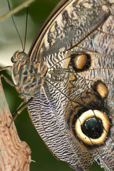 Free Brown Eyes Of A Blue Morpho Royalty Free Stock Photography - 2963027