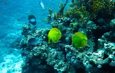 Masked Butterfly Fishes Stock Photo
