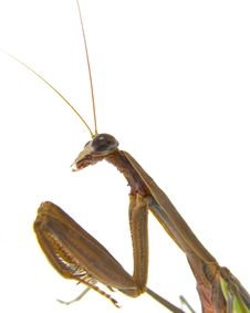 Free A Praying Mantis Stock Photo - 2963860