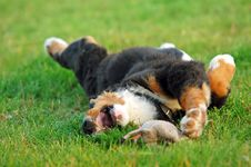 Free Portrait Of Puppy Bernese Moun Stock Photography - 2964932