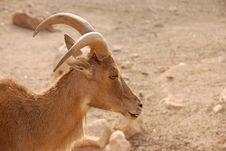 Goat In The Desert Stock Photos