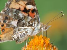 Painted Lady (Vanessa Cardui) Royalty Free Stock Photos
