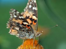 Free Painted Lady (Vanessa Cardui) Stock Image - 2967671