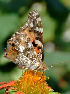 Free Painted Lady (Vanessa Cardui) Royalty Free Stock Photos - 2967678