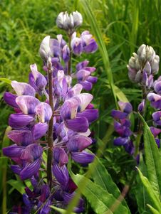 Lupine Flower Royalty Free Stock Images
