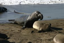 Mating Elephant Seal Royalty Free Stock Photos