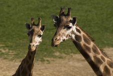 Free Giraffe With Child Royalty Free Stock Image - 2969816